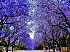//Jacarandas Walk, South Africa / 50 Most Breathtaking Places to Visit Before You Die Places Around The World, Around The Worlds, Beautiful Flowers, Beautiful Places, Beautiful Pictures, Lavender Blossoms, Street Trees, Invasive Plants, Argentine