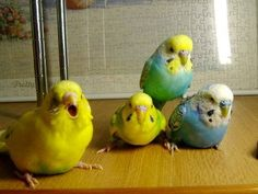 """""""Step right up folks and see the Budgie pyramid act. Live from Australia. 'The Flying Budgie Brothers'!"""""""