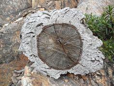 Quercus suber - Wikipedia, the free encyclopedia
