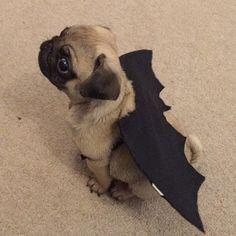 Bat pug.