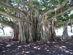 Hawaiian Banyan tree on Oahu