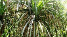 Si encuentras esta planta, podrías volverte millonario porque ahí podrían haber diamantes http://diarioecologia.com/si-encuentras-esta-planta-podrias-volverte-millonario/?doing_wp_cron=1432072751.5862739086151123046875