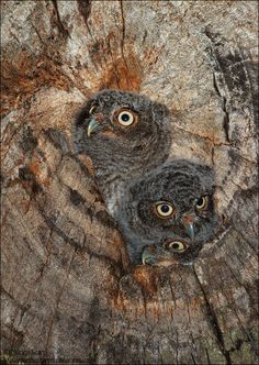 Photo Three's a Crowd - Eastern Screech Owlets by Marina Scarr on 500px