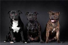 Staffy Bull Terrier, Staffy Dog, American Staffordshire Bull Terrier, Stafford Terrier, Animals And Pets, Cute Animals, Bully Dog, War Dogs, Doge