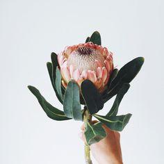 194 Best Greenery images in 2019 Flor Protea, Protea Flower, Strange Flowers, Wild Flowers, Beautiful Flowers, Motif Floral, Arte Floral, Flowers Wallpaper, Australian Native Flowers
