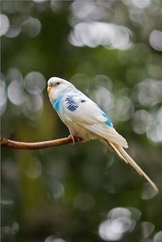 Speckled Blue Budgie. Birds of Paradise