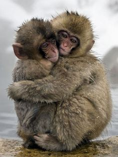 Snow Monkeys from the documentary One Life (2010).