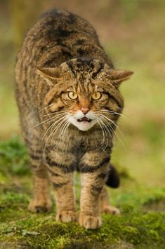 """Scottish Wildcat. Pound for pound the Scottish wildcat is one of the most impressive predators in the world; intelligent, fearless, resourceful, patient, agile and powerful. """"They'll fight to the death for their freedom; they epitomize what it takes to be truly free...,"""" Mike Tomkies."""
