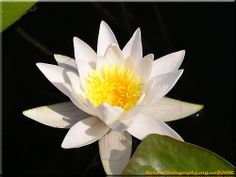 Water Lily, a beautiful flower that peeps up from water to welcome you in the world of natural beauty. It has thin petals with yellowi. Birth Flowers, Lotus Flowers, Water Plants, Water Lilies, Nature Photos, Mother Nature, Garden Landscaping, Beautiful Flowers, Nature Photography