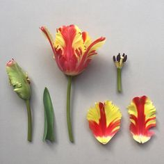 579 отметок «Нравится», 11 комментариев — R O B B I E  H O N E Y . (@robbiehoney) в Instagram: «T U L I P A . ' Flaming Parrot' deconstructed #botanicalstudy #botanicaldeconstruction #frenchtulip…»