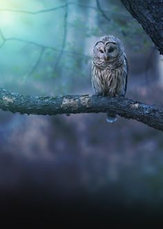A special color render of a beautiful barred owl hunting on a peaceful evening in Northeastern Ohio.