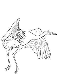 African Black Crowned Crane