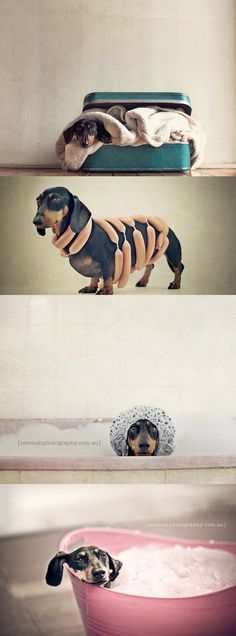 Pet photography by Serena Hudson : http://serenaphotography.com.au  #Dachshunds