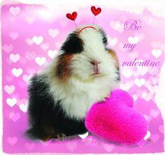 Lolly, guinea pig. Cavia