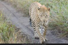 A scar-faced Maxabeni was found this morning following the trail of the Little Bush female.