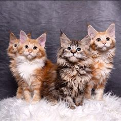 Kitten female maine coon from mioowcoon