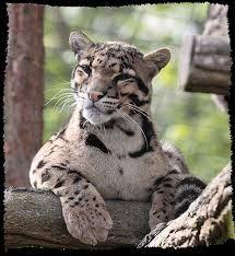 """Résultat de recherche d'images pour """"panthère nébuleuse"""" Lion Tigre, Big Cats, Panther, Images, Animaux, Search, Panthers, Black Panther"""