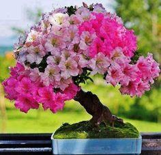Flowers And Garden Ideas : Flowering Bonsai (Resim & Fotograf) Ikebana, Plantas Bonsai, Bonsai Garden, Garden Plants, Tree Garden, Terrarium Cactus, Mini Plantas, Bonsai Azalea, Miniature Trees
