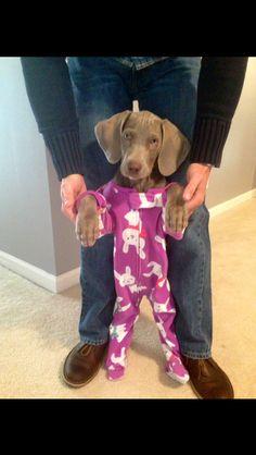 A Weimaraner in footie pajamas!