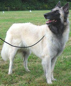 belgian tervueren dog