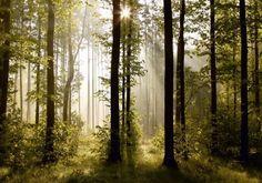 Fototapete Tapete Natur Wald Bäume Lichtspiel Foto 360 cm x 254 cm