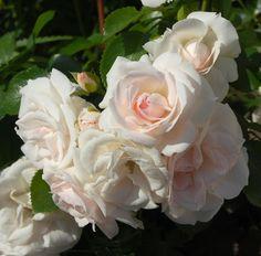 Friska, vackra ASPIRIN är Årets Ros!