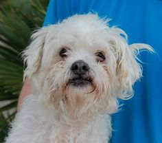 3/13/2017 Hero needed, Maltese & Lhasa Apso, neutered boy, 10 years.    Kouros is a little gentleman with tremendous loving potential.    He is good with other dogs and may adjust best in a home with a big sister or brother dog.    He is recovering from cruelty.  He is improving every day, but he is very intolerant of anyone touching his face.  Very experienced, adult-only home needed for continuing progress.