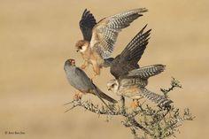 La compañía de tres - Amir Ben-Dov/Wildlife Photographer of the Year 2015