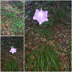 Campanula sp- clopoțel de pădure Flora, Plants, Plant, Planting