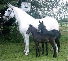 Irish Draught mare with her twin foals - Both of the foals are going to be Greys as adults because they have Grey hair around their muzzles and eyes.