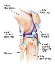 Anterior knee dislocation nee dislocation pinterest knee anatomy of knee joint human anatomy 28 images knee joint ligaments anatomy human anatomy diagram human knee joint anatomy model max obj fbx knee joint ccuart Images