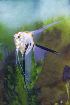 Koi Marble Veil Angelfish Tropical Freshwater Fish, Tropical Fish, Angelfish, Marine Life, Sea Creatures, Animal Pictures, Fresh Water, Veil, Marble