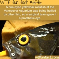 One-eyed fish gets a prosthetic eye - FAITH IN HUMANITY RESTORED!  ~WTF awesome fun facts