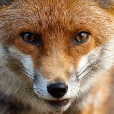 Fox up close by gingiber, via Flickr