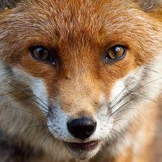 Fox up close by gingiber, via Flickr