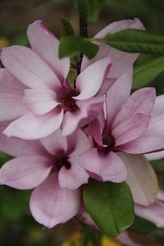 ~Japanese Saucer Magnolias: