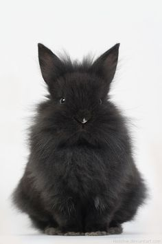 I'd love a rabbit like this. I'd call him Swift. We call him The Dark Knight, 'cause he's dark, brooding, mysterious, and lives in a cave underground. Bunny Love, Cute Bunny, Bunny Bunny, Bunny Rabbits, Easter Bunny, Funny Bunnies, Baby Bunnies, Baby Animals, Funny Animals