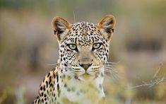 Výsledek obrázku pro tiger young