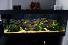 peacock cichlid aquarium setup - Google Search