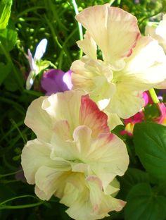 Double Pansies - Have never heard of these. Amazing Flowers, My Flower, Flower Art, Flower Power, Beautiful Flowers, Garden Mum, Dream Garden, Flower Boarders, Johnny Jump Up