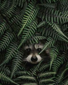 iding raccoon - photo by Animals And Pets, Baby Animals, Cute Animals, Amazing Animals, Racoon, Animal Wallpaper, Art And Illustration, Beautiful Creatures, Animal Photography