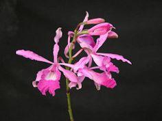 Myrmecophila galleotiana (Juan Morales Orchids) Tags: orchids orquideas myrmecophila galeottiana