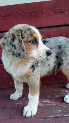 Australian shepherd -  cross puppy