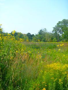 Churchhill prairie, Glen Ellyn, IL