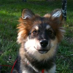 Nella, our almost 6-month old Finnish Lapphund