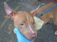 SAFE --- Brooklyn Center   ROSS - A0997661   FEMALE, TAN / WHITE, PIT BULL MIX, 1 yr, 4 mos  STRAY - STRAY WAIT, NO HOLD Reason STRAY  Intake condition NONE Intake Date 04/24/2014, From NY 10467, DueOut Date 04/27/2014. https://www.facebook.com/photo.php?fbid=793788133967401&set=a.792353347444213.1073743116.152876678058553&type=3&theater
