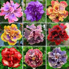 100PCS Giant Double Hibiscus Seeds Beautiful Bonsai Flower Seeds Perennial Plants Potted Flower For Home Garden Planting