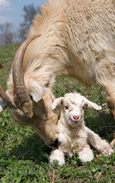 Wild Mountain Goats                                                                                                                                                                                 More