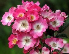 'Mozart' - Lambert (1937). Muskushybride. Doorbloeiend tot diep in de herfst. Enkele, karmijnroze bloemetjes (3cm) met wit hart, gegroepeerd in grote tuilen van wel 50 roosjes. De donkerroze rand bloeit langzaam uit naar lichtroze. Lichtgeurend naar citroen. Bossige plant met bodembedekkende eigenschappen en klein, smal, puntig blad. Zeer gezond. 150cm x 180cm.
