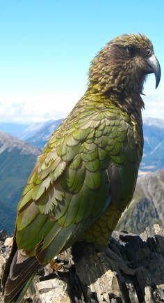 Kea on Avalanche Peak in Arthur's Pass National Park - New Zealand Beautiful Birds, Animals Beautiful, Love Birds, Animals And Pets, Cute Animals, Mundo Animal, Tier Fotos, All Gods Creatures, Big Bird